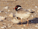 Friends of the Hooded Plover Fleurieu Peninsula logo